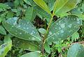 Syzygium caryophyllatum leaves1.jpg