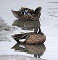 TEAL, BLUE-WINGED (3-24-07) morro bay estuary, slo co, ca (558346981).jpg