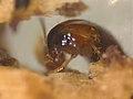Tachyporus nitidulus (36590651252).jpg