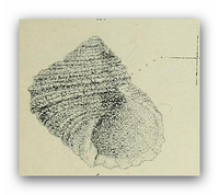 Tallorbis roseola 001.png