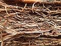 Tapis de racines de platane sous trottoir Platanus root mat under sidewalk Lille northern France 15.jpg