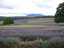 Lavender farm in Tasmania