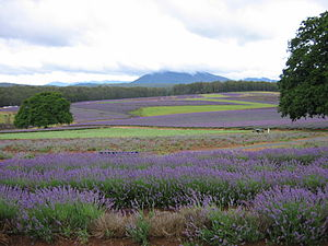 English: Lavender fields of Bridestowe Estate,...