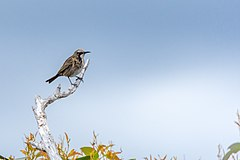Tawny-crowned honeyeater.jpg