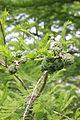 Taxodium distichum - Sumpfzypresse (2).JPG