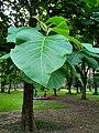 Teak tree with leaves .jpg
