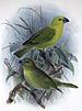 Lesser Koa Finch
