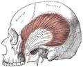 Temporalis.PNG