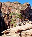 Tenacious Tree, Zion NP, UT 5-14 (24430258929).jpg