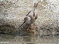 Terek Sandpiper (Xenus cinereus) (47683259772).jpg