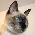 Thai cat (2).jpg