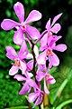 Thailand-3619 - Orchid (3699088783).jpg