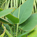 Thalia geniculata-IMG 7044.jpg
