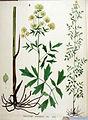 Thalictrum morisonii — Flora Batava — Volume v19.jpg