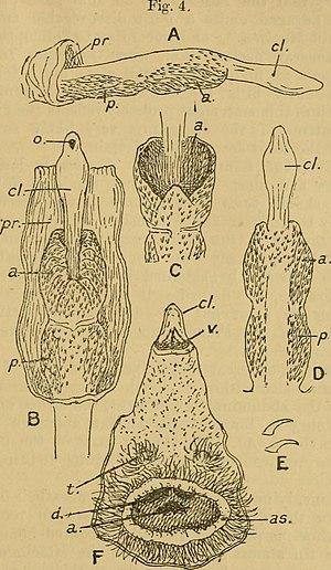 Fossa (animal) - External genitalia of Cryptoprocta ferox