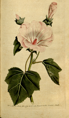 The Botanical Magazine, Plate 109 (Volume 4, 1791).png
