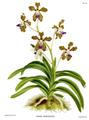 The Orchid Album-02-0036-0059-Vanda roxburgii.png