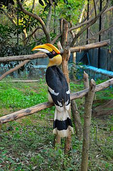 The great indian hornbill (Female pictured).jpg