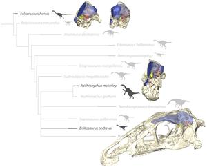 Erlikosaurus - Skull of Erlikosaurus (below) and endocranial elements of other therizinosaurs