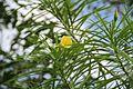 Thevetia Peruviana (Lucky Nut) (28276463414).jpg