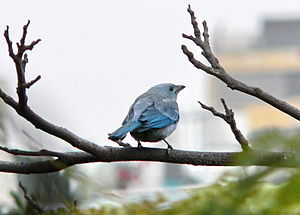 Blue-gray tanager - Image: Thraupis Episcopus Perú 10161826