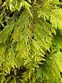 Thuidium tamariscinum 2005.03.31 12.06.31.jpg