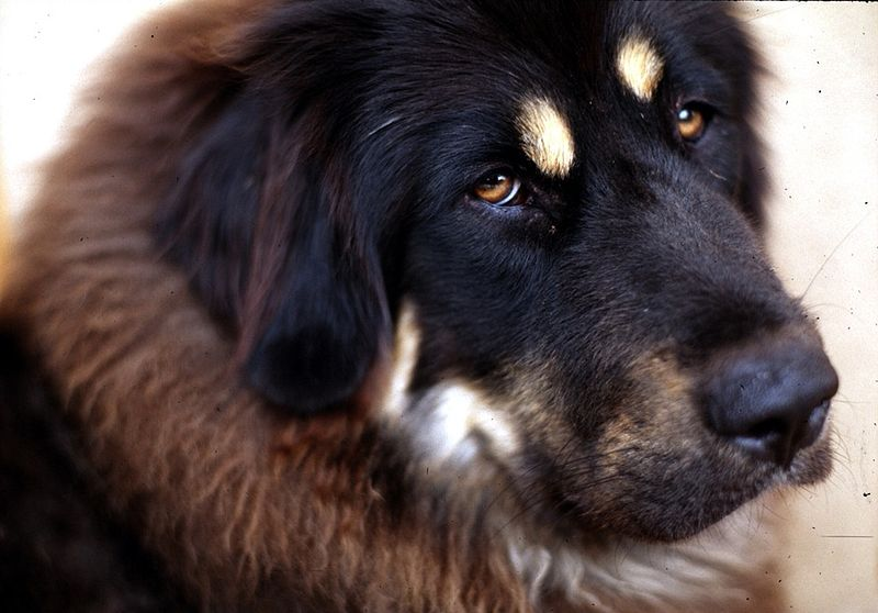 File:Tibetan Mastiff 001.jpg