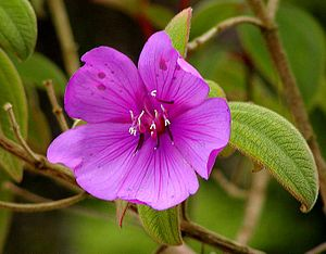 Melastomataceae - Tibouchina semidecandra at Strybing Arboretum, San Francisco