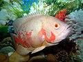 Tiger Oscar Fish.jpg