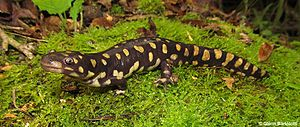 Tiger salamander - Tiger salamander (Ambystoma tigrinum)