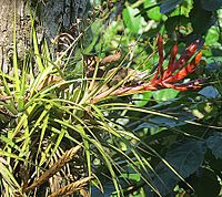 Tillandsia fasciculata (25084087301).jpg