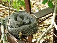 File:Timber rattlesnake (Crotalus horridus) in Pennsylvania.webm