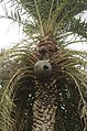 Toddy collection in Phoenix sylvestris from Andhra Phoenix sylvestris from Andhra JEG8941.JPG