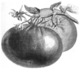 Tomate rouge grosse lisse Vilmorin-Andrieux 1883.png