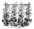 Tomate rouge naine hâtive Vilmorin-Andrieux 1883.png
