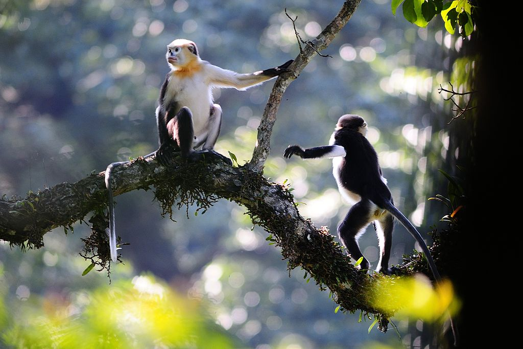 Tonkin snub-nosed monkeys (Rhinopithecus avunculus).jpg