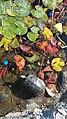 Tortoise and plastic in Buca Pond, 2017-04-30.jpg