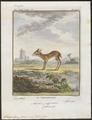 Tragulus javanicus - 1700-1880 - Print - Iconographia Zoologica - Special Collections University of Amsterdam - UBA01 IZ21500184.tif