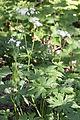 Trautvetteria caroliniensis var. japonica (Mount Cho).JPG