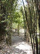 Trebah Bamboo