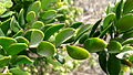 Tree Broom-heath leaves (6017554905).jpg