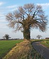 Tree by lane to Hemingstone - geograph.org.uk - 669366.jpg