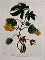 Tree cotton (Gossypium arboreum); flowering and fruiting ste Wellcome V0044339.jpg