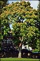 Tree of Heaven Eel Brook Common (15268144445).jpg