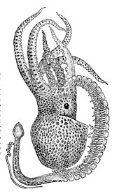 Drawing of a male octopus with one large arm ending in the sexual apparatus