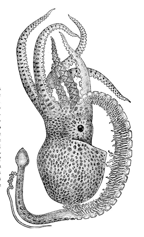 Tremoctopus violaceus5