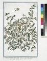 Tribulus terrestris ciceris folio Seminum intefgumento aculeato - Tribolo terrestre - La Croix de Chevalier. (Small Caltrops, Puncture Wine) (NYPL b14444147-1130580).tiff