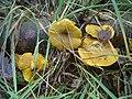 Tricholomopsis decora Paimpont.jpg