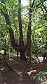 Trident Tree - panoramio.jpg