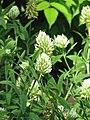 Trifolium pannonicum Koniczyna pannońska 2013-06-23 01.jpg